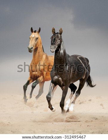 two akhal-teke stallions running in desert - stock photo
