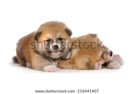 Two Akita dogs - puppies one month old, pose on white isolated background   - stock photo