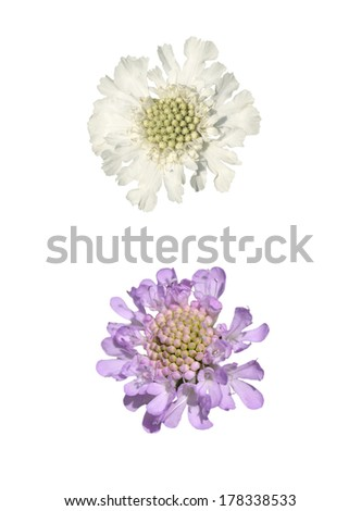 Two Alpine Scabious isolated on white background - stock photo