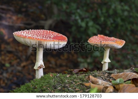 two Amanita muscaria or fly agaric fungus in german nature - stock photo