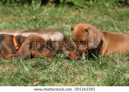 Two amazing Dachshund puppies laying on grass in the garden - stock photo