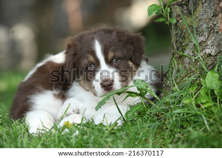 Two amazing puppies of australian shepherd lying together in the grass - stock photo