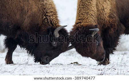 Two American bison butting on the snow. Two American bison (bison bison). Two huge American bison in the snow-covered frost steppe. - stock photo