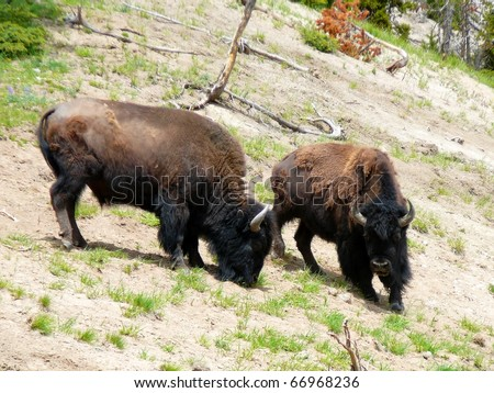 Two American Bison on Hillside in Yellowstone National Park - stock photo
