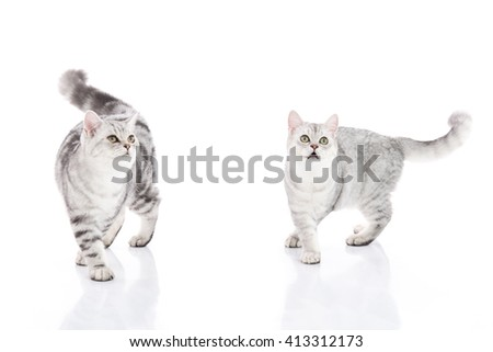 Two American Shorthair kittens walking and looking up on white background isolated - stock photo