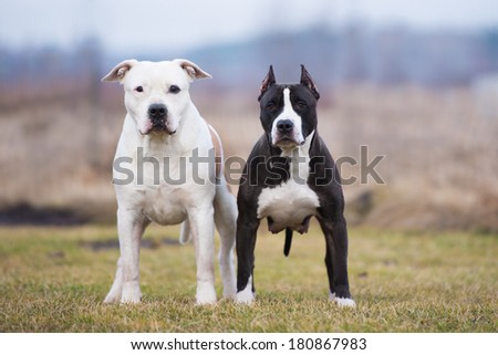 two american staffordshire dogs together - stock photo