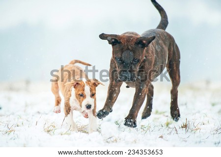 Two american staffordshire terrier dogs playing with a snowball - stock photo