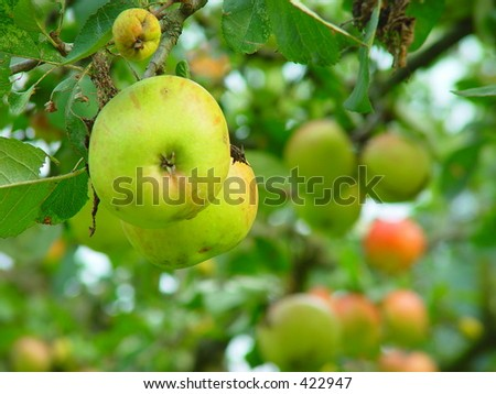 Two apples hanging from a branch in a blurry orchard in the background - stock photo