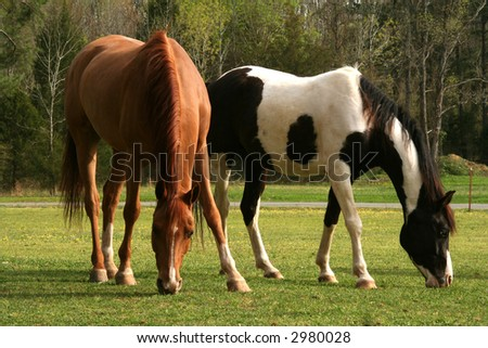 Two arabian geldings grazing in spring pasture - stock photo