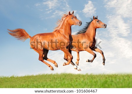 two arabians - stock photo