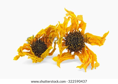 Two Arnica herb dried blossoms on a white background - stock photo