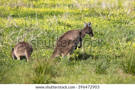 Two Australian  brown kangaroos macropus rufus grazing on a cloudy morning  in a paddock of green grass   after winter rains.   - stock photo