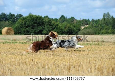Australian shepherd Stock Photos, Illustrations, and Vector Art