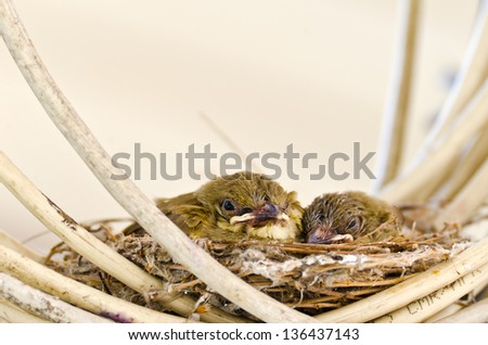 Two baby birds on their nest built over cable. - stock photo