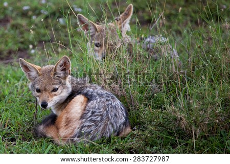 Two baby black-backed jackals (Canis mesomelas) in Masai Mara National Reserve, Kenya, Africa.   - stock photo