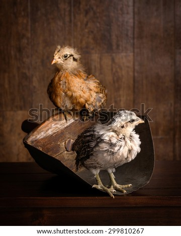 two baby chicks - stock photo
