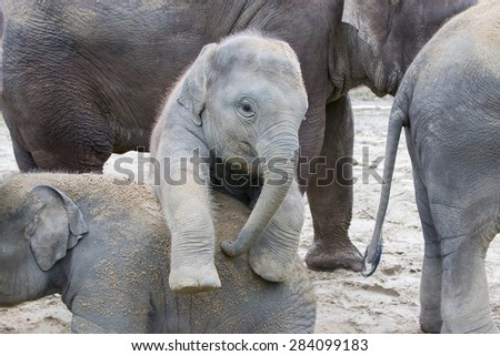 Two baby elephants playing in the sand - stock photo