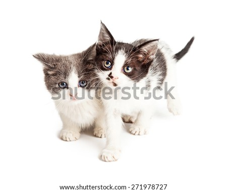 Two baby kittens together on a white background. One is sitting and one walking forward. - stock photo