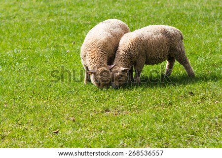 Two Baby Lambs Eating Grass in a Field. United Kingdom, Devon - stock photo