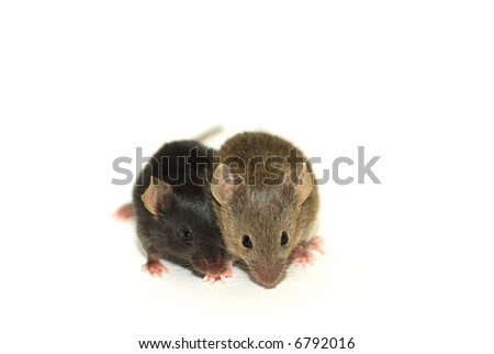 Two baby mice. One brown, the other black, while they are from the same nest. - stock photo