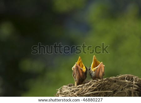 Two baby Robins in a nest, singing for their supper, shallow depth of field, selective focus with lots of copy space, horizontal - stock photo