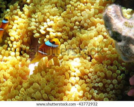 Two-banded clownfish - stock photo