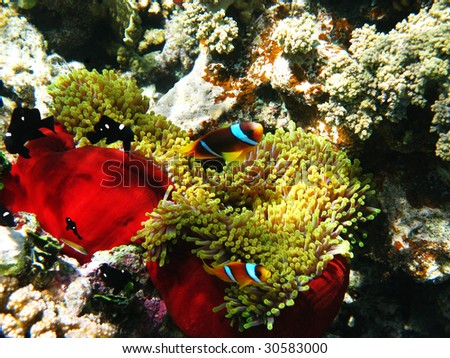 Two-banded clownfishes and sea anemones - stock photo