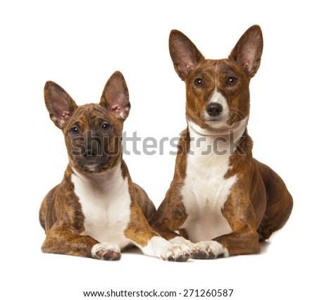 two basenji dogs isolated on white background - stock photo
