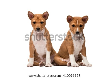 Two basenji puppies sitting side by side looking straight - stock photo