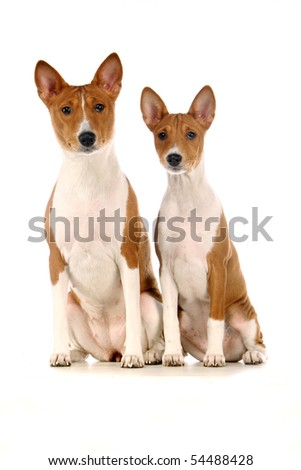 Two Basenjis on the white background - stock photo