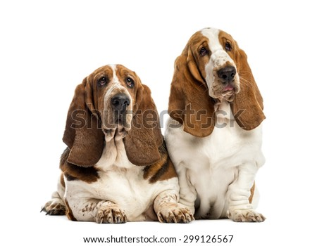 Two Basset Hounds in front of a white background - stock photo