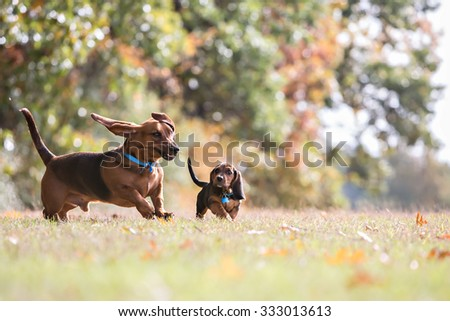 Two Basset Hounds running and playing - stock photo