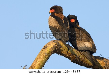 Two Bateleurs on a tree branch. - stock photo