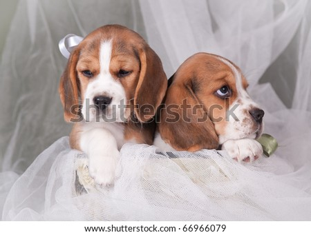 Two beagle puppies - stock photo