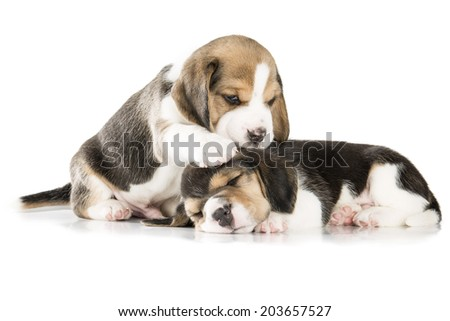 two beagle puppy isolated on white background - stock photo