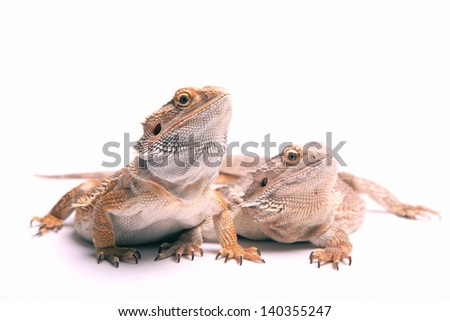 two bearded dragons isolated on white - stock photo