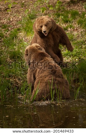 Two bears fighting at the shore of a stream - stock photo