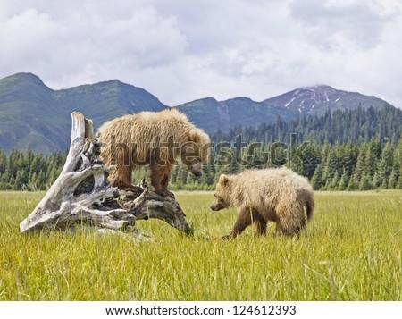 Two bears in Alaska enjoying the wilderness - stock photo