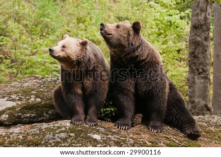 Two bears sitting on the rock, facing camera left. - stock photo