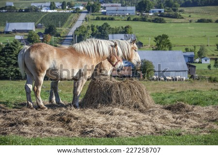 Two beautiful Belgian draft horses feeding in the pasture  - stock photo