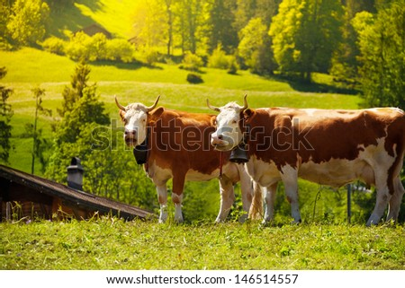 Two beautiful cows standing on the pasture with snout turned to cow - stock photo