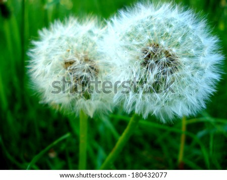 Two beautiful dandelions on a grass background - stock photo