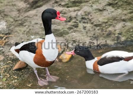Two beautiful ducks swimming in lake - stock photo