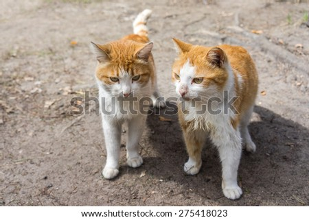 Two beautiful ginger red cat standing on the ground - stock photo