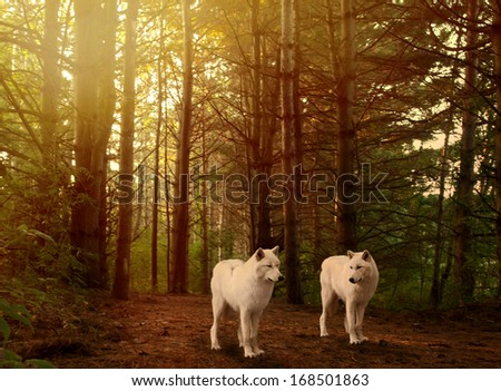 two beautiful grey wolves in a forest  - stock photo