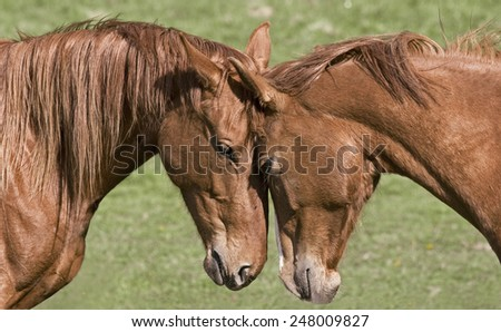 Two beautiful horses greet each other - stock photo
