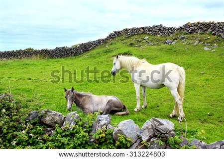 Two beautiful horses, resting on the grass on the side of the green hill between two traditional stone walls in Aran island, Ireland. - stock photo