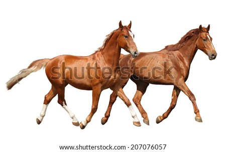 Two beautiful horses running isolated on white background - stock photo