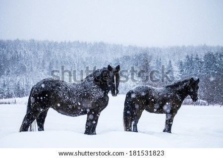 Two Beautiful Horses Standing Up and Looking at the Camera during a Snowstorm - stock photo