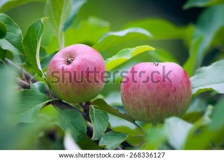 Two beautiful juicy red apples on a lush green tree. - stock photo